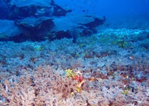 Shoals soft coral diversity