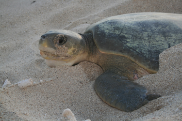 Nesting flatback turtle.  Photo by Phillipa Wilson.