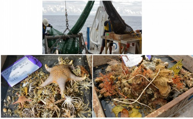 Examples of what we found in the sleds.  Left - dominated by feather starts, brittle stars and sea stars.  Right - dominated by sponges and soft corals.