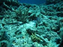 Coral recovering after Tropical Cyclone Hamish
